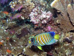 Regal angelfish (Pygoplites diacanthus) Photo