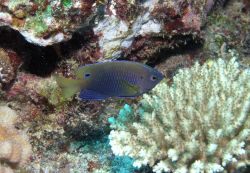 Princess damselfish or ocellated damselfish (Pomacentrus vaiuli) Photo