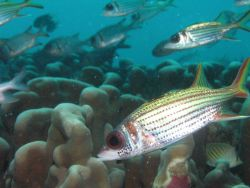 Spotfin Squirrelfish (Neoniphon sammara) Photo