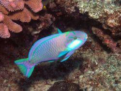 Bleeker's parrotfish (Chlorurus bleekeri) Photo