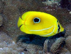 Bennett's butterflyfish (Chaetodon bennetti) Photo