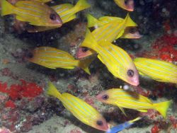 Bluelined snapper (Lutjanus kasmira) Photo