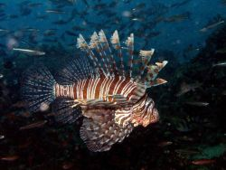 Lionfish (Pterois volitans) Photo