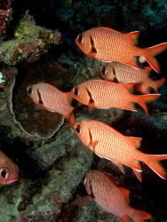 Big Scale Soldierfish (Myripristis berndti) Photo