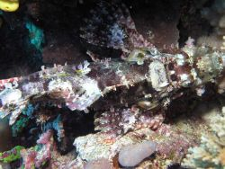 Beaufort's crocodilefish (Cymbacephalus beauforti) Photo