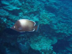 Easter Island butterflyfish. Photo