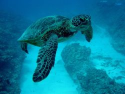 A green sea turtle Image