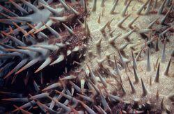 Crown of thorns (Acanthaster planci) at 1 meter depth. Photo