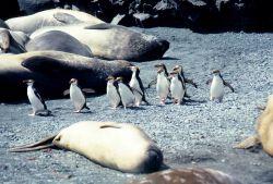 Royal Penguins & elephant seals. Photo