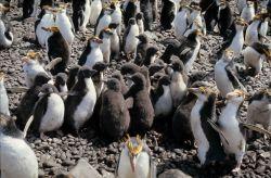 Royal Penguins & chicks. Photo