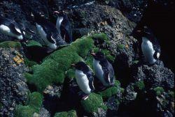 Rockhopper Penguins. Photo