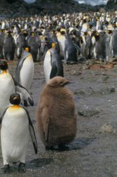 King Penguins & chicks. Photo