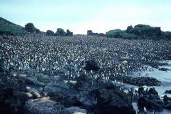 Royal Penguin colony close up. Photo