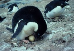 Adelie Penguin & egg. Photo