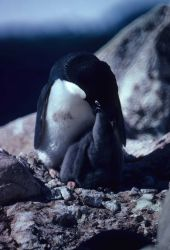 Adelie Penguin feeding chick. Image