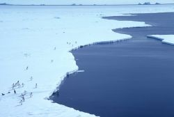 Mawson Ice Edge; Adelie Penguins Photo