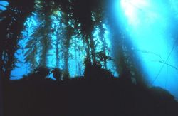 Gazing upward in a giant kelp forest Photo