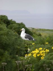 A Western Gull (Larus occidentalis) sits among the coreopsis on Anacapa Island. Image