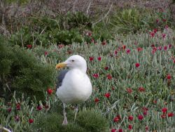 A Western Gull (Larus occidentalis) Image