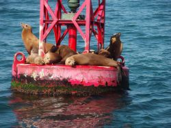 Buoy riding California sea lions (Zalophus californianus). Photo