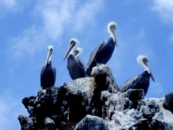 Brown pelicans (Pelecanus occidentalis). Photo