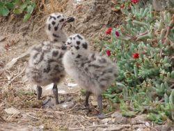 California gull chicks (Larus Californicus). Photo