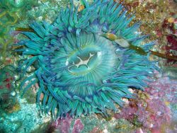 A large green sea anemone Image