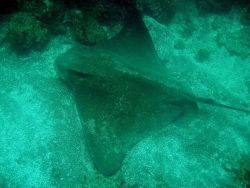 A bat ray (Myliobatis californica). Image