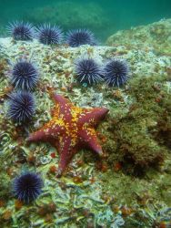 Bat star (Asterina miniata) and purple urchins (Strongylocentrotus purpuratus). Photo