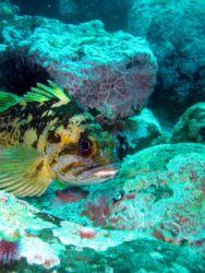 Black and yellow rockfish (Sebastes chrysomelas). Photo