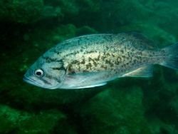 Blue rockfish (Sebastes mystinus). Photo