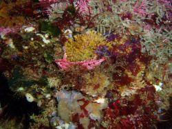 Crevice kelpfish (Gibbonsia montereyensis). Photo