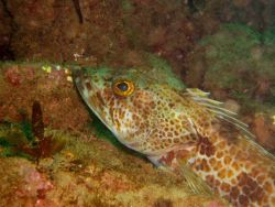 Lingcod (Ophiodon elongatus). Photo