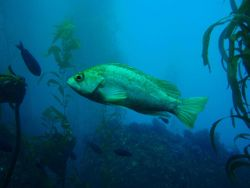 Kelp rockfish (Sebastes atrovirens). Photo