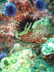 A California sea hare (a type of sea slug) (Aplysia californica) with purple sea urchins (Strongylocentrotus purpuratus). Image