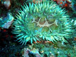 A beautiful sunburst anemone (Anthopleura sola). Photo
