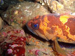 An orange rockfish. Image