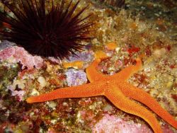 Seastar and urchin Photo