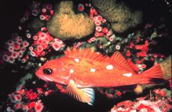 A rosy rock fish Image