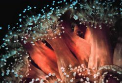 Strawberry anemones Photo