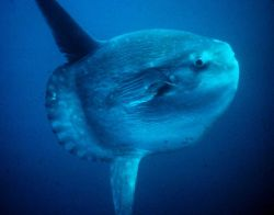 An ocean sunfish or mola mola Image