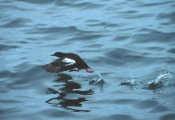 A Pigeon Guillemot Photo