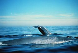 Blue whales on the surface Photo