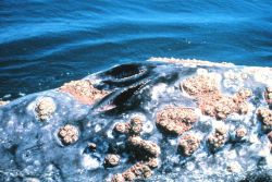 Closeup of a gray whale blowhole showing large assemblage of barnacles Photo