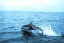 A Pacific white sided dolphin Image