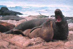 Elephant seals on the Farallon Islands Photo