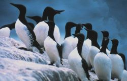 Common murres Photo