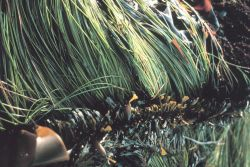 Kelp and surf grass Photo