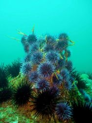 A platoon of purple urchins (Strongylocentrotus purpurartus). Image