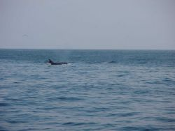 A lone killer whale (Orcinus orca). Photo